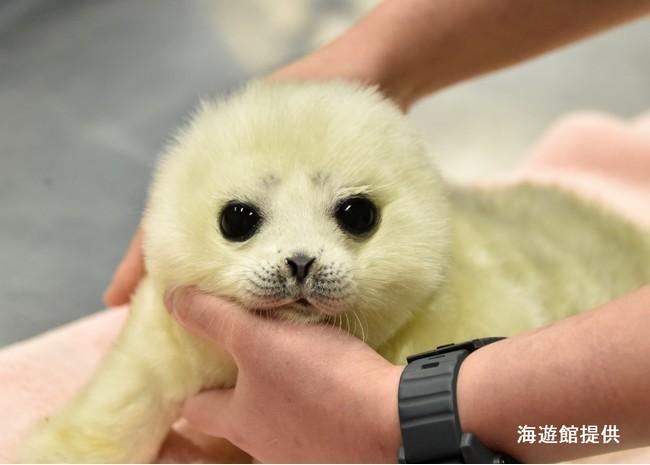 大阪・海遊館の飼育員が語る!「ワモンアザラシ 日本初の完全人工哺育の軌跡」