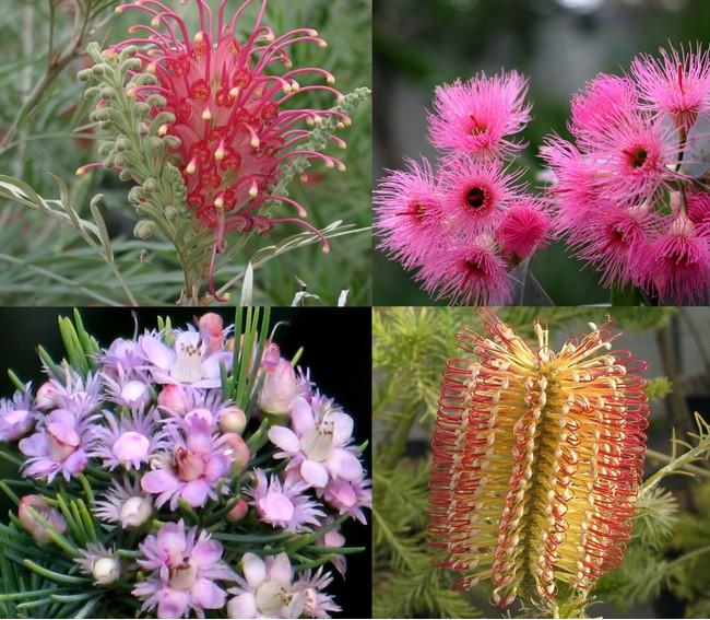~今注目のオーストラリア原産植物~『オージープランツ』の楽しみ方